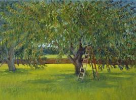Cerisiers mûrissant