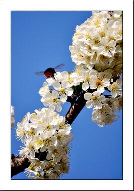 Confinement sous le cerisier