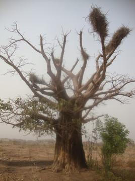 baobab en image