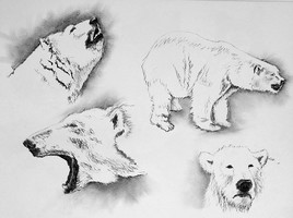 Croquis d'ours blanc