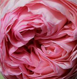 Rose rose et rosée
