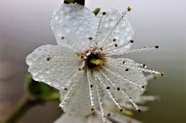 Fleur d'aubépine 2