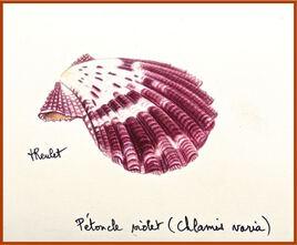 Coquillage Le pétoncle violet (Chlamis varia) / Watercolor A purple variegated scalp