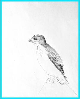 Mergule nain (Alle alle) / Sketch A Little Auk