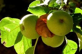 Pommes à croquer