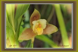 Orchidées - Lycaste deppei