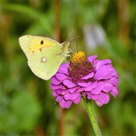 papillon citron ..