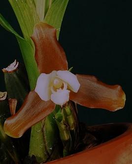 Orchidée du Panama.