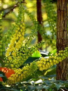 Fleurs de houx jaunes