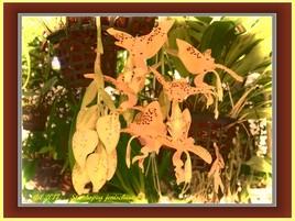 Orchidées - Stanhopea jenischiana