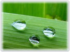 Gouttes d'eau sur une feuille d'Iris.