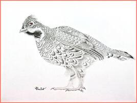Gélinotte des bois (Tetrastes bonasia) / Drawing A Hazel grouse