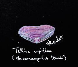 Coquillage La telline papillon (Macomangulus tenuis) / Drawing Seashells A thin tellin