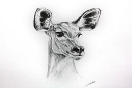 Dessin de gazelle