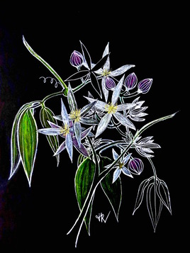 Clématite blanche / Drawing Apple Blossom clematis