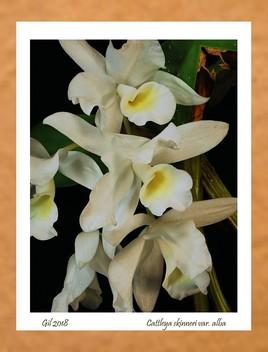 Cattleya skinneri var alba - Orchidée