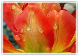 Première Tulipe.