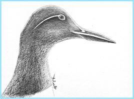 Guillemot de Troïl plumage d'été (Uria aalge) / Drawing of a Common Mure in summer plumage
