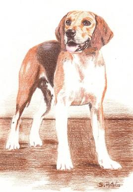Portrait Chien Beagle