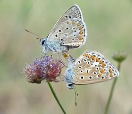 accouplement de papillon    !!