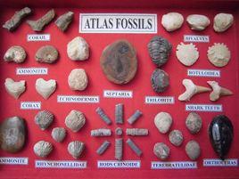 Atlas fossils