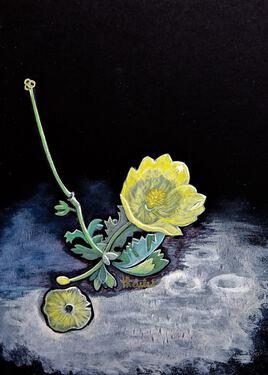 Le pavot jaune des sables (Glaucium flavum) / Painting Flower A sea-poppy