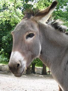 Le petit âne gris