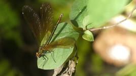 autre libellule