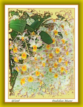 Dendrobium Mousmé - Orchidée