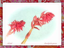 蘭花 Stenorhychus speciosus