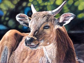 Vache Banteng