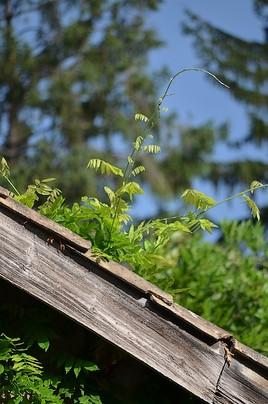 Glycine sur le toit