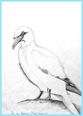 Fou de Bassan (Morus bassanus) / Sketch A Northern Gannet