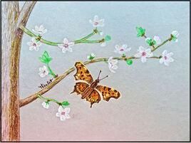 Papillon Robert-le-diable (Polygonia C-album) / Drawing Polygonia C-album and plum flowers