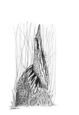 Butor étoilé (Botaurus stellaris)