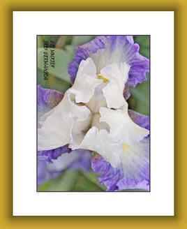 Iris Germanica - Pour la fête des mères