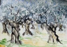 De vieux oliviers