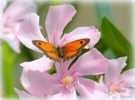 Papillon et fleurs de Laurier-Rose.