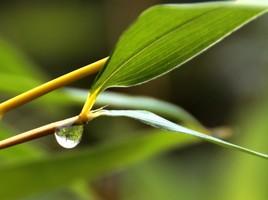 Bamboo Focus