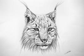 Dessin de Lynx