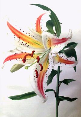 Lys en pleine floraison