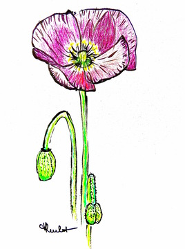 Fleur de pavot rose / Painting A pink poppy