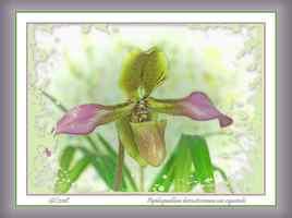 Paphiopedilum hirssutissimum var esquirolei