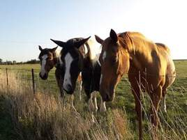 Prairie et chevaux