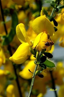 Une fausse abeille sur un jaunet