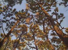 Pins dans le ciel de Biscarrosse