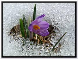 Crocus Semnoz hiver