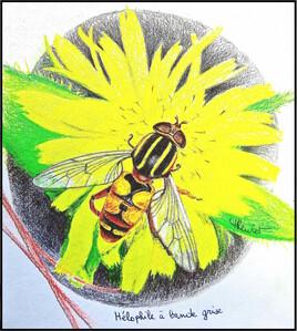 Héliophile à bande grise (Helophilus trivittatus) / Drawing A Large tiger hoverfly