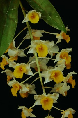 Orchidée thailandaise.