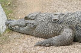 Mâchoire de crocodile